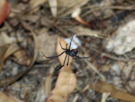 Big black widow #2
