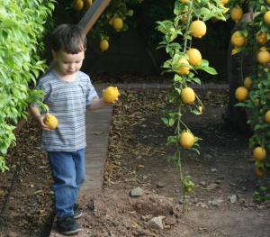 collecting lemons off the ground